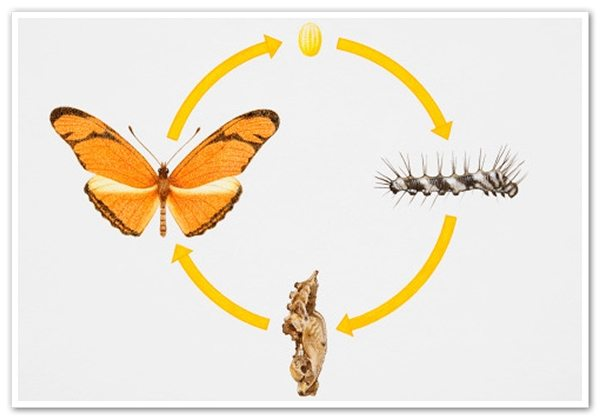 Butterfly life cycle facts