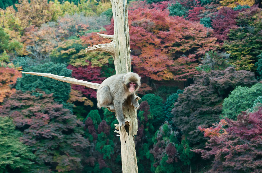 Monkey-on-limb-over-fall-forest-at-Kyoto-Japan