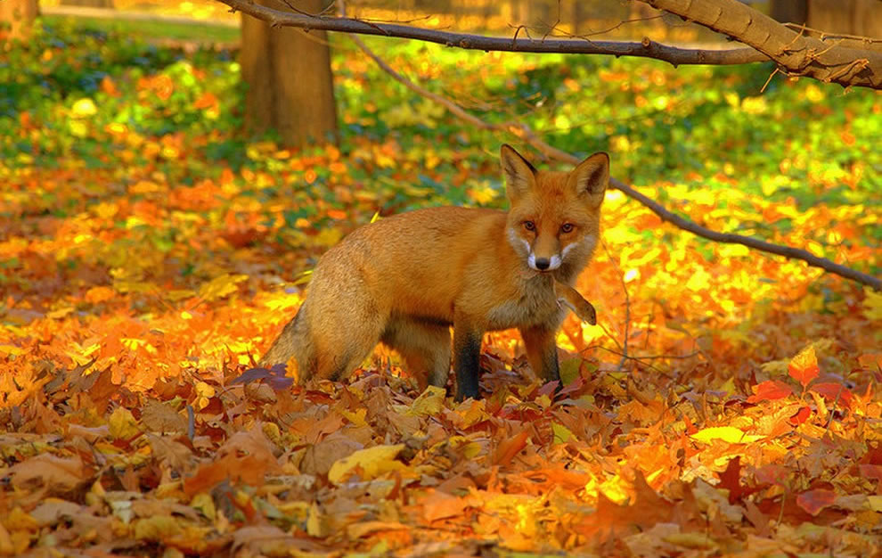 Red-fox-caught-mouse-in-bright-foliage-of-fall-forest