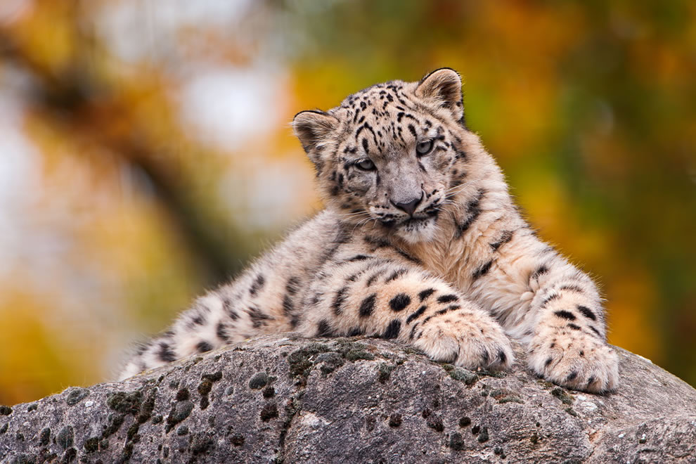 Snow-leopard-cub-posing-on-a-rock-with-blurred-autumn-background-at-Basel-Zoo-Switzerland