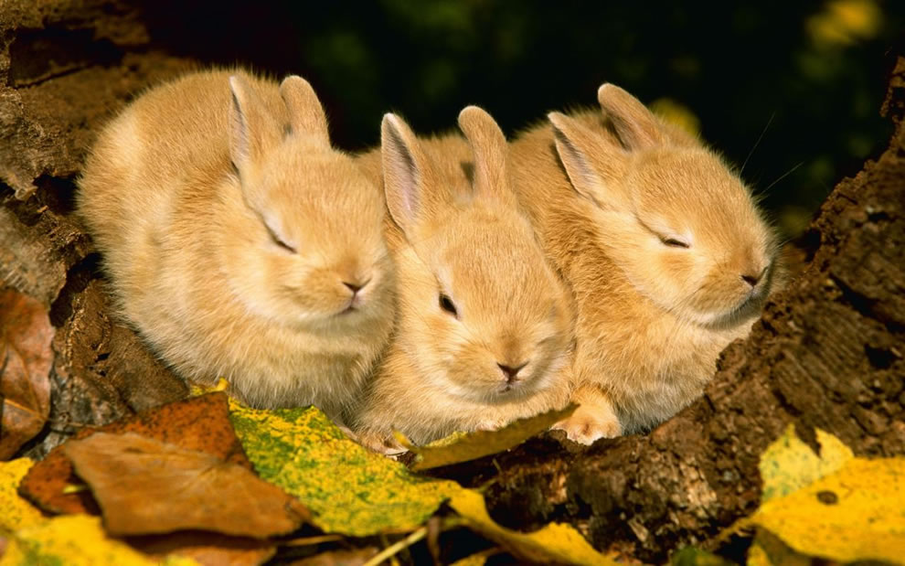 Three-bunnies-napping-in-the-autumn-foliage