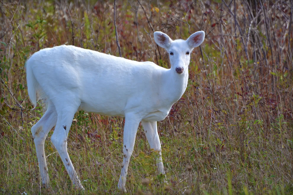 White-White-tailed-Deer-during-autumn-at-the-Seneca-Army-Depot-in-New-York