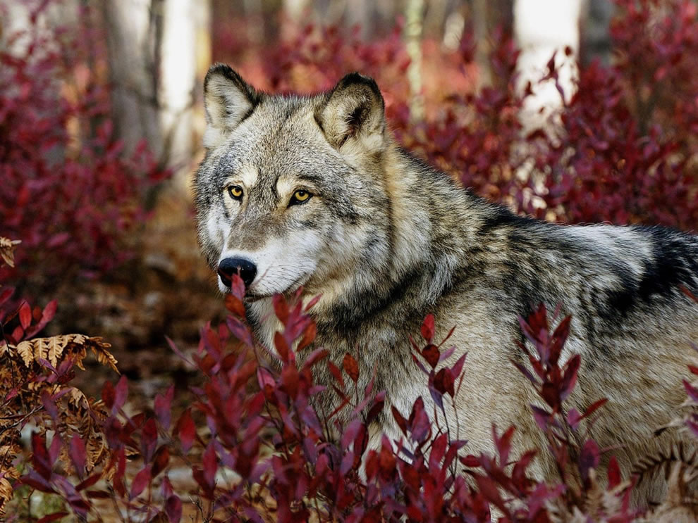 Wolf-among-the-red-fall-foliage