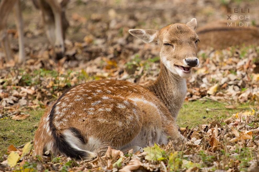 Yawning-deer-doe-during-fall-at-Saxony-Anhalt-Germany