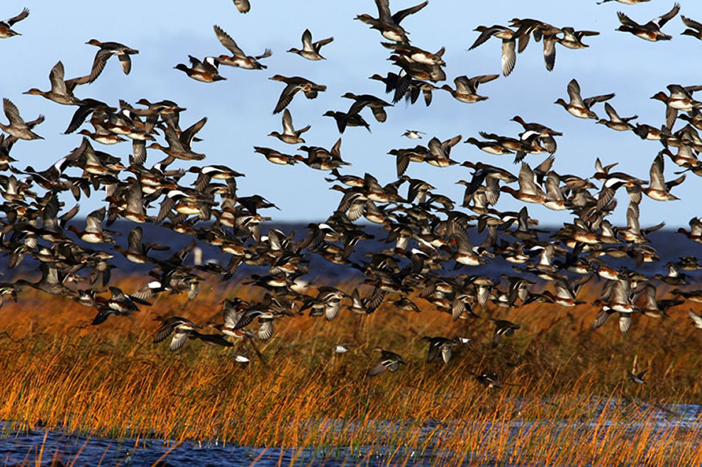 Autumn-Bird-Migration-on-Coasts-of-Pärnu-Estonia.-Waterfowl-flock-in-Luitemaa-coastal-wetland