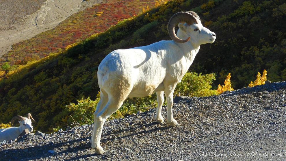Autumn-Dall-Sheep-in-Denali-National-Park