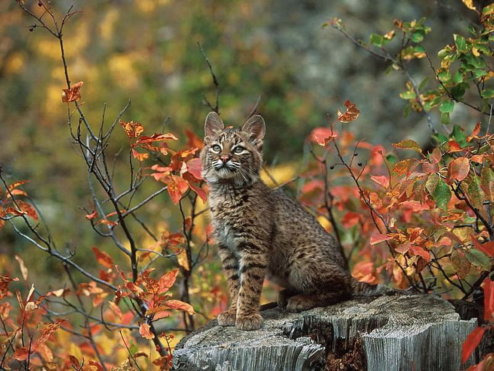 Beautiful-Bobcat-In-Autumn