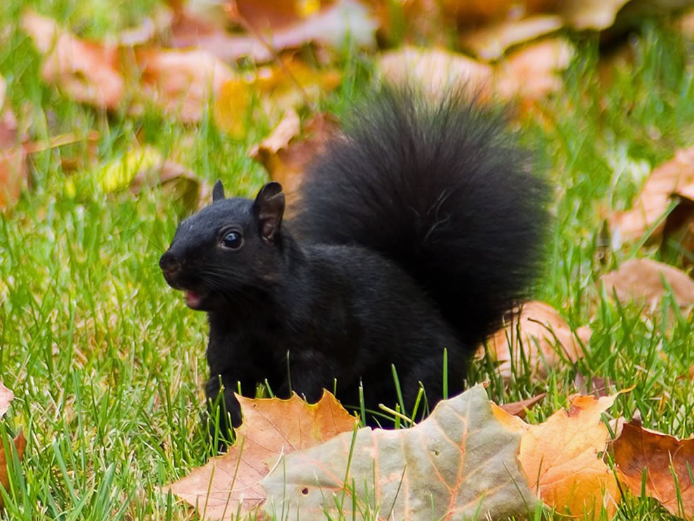 Black-Squirrel-in-Autumn-Leafs