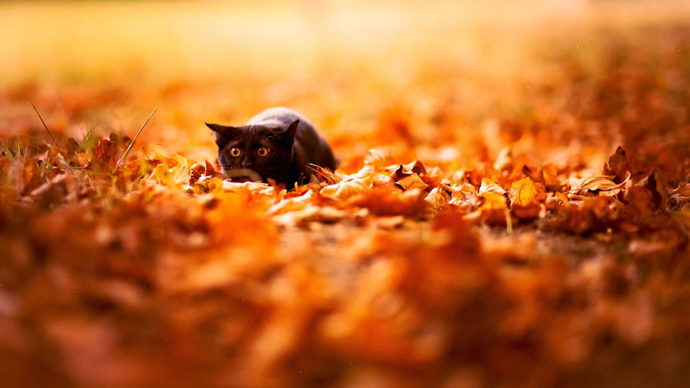 Black-cat-about-to-pounce-in-autumn-leaves