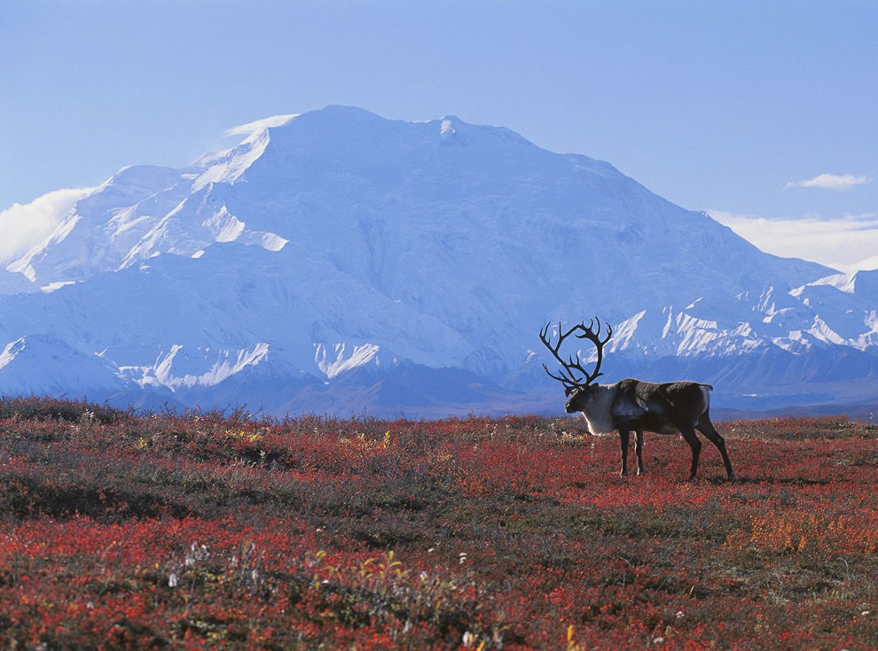 Caribou-in-autumn-tundra-with-beautiful-snowy-mountains-in-background