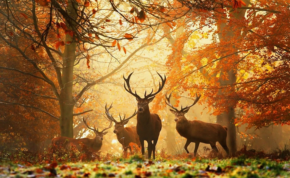Deers-with-antlers-in-forest-with-autumn-foliage