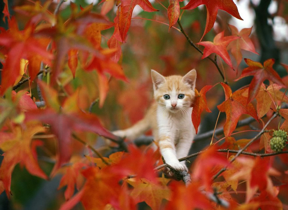 call-the-fireman-kitty-stuck-out-on-a-limb-among-red-leaves-of-autumn
