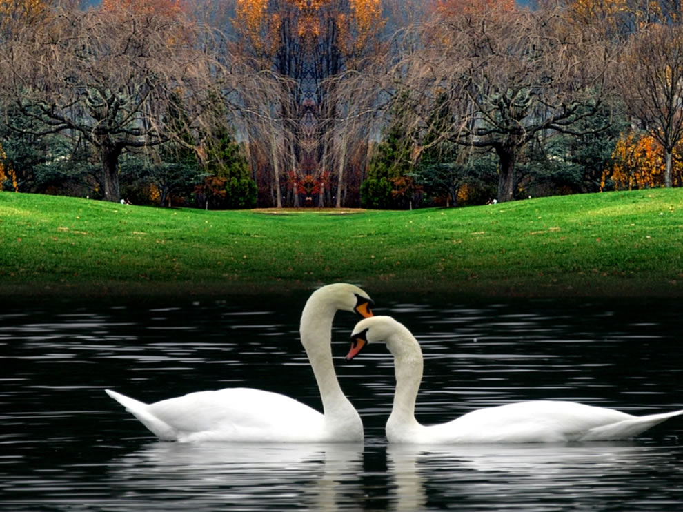 Fall-swans-in-lake-at-autumn