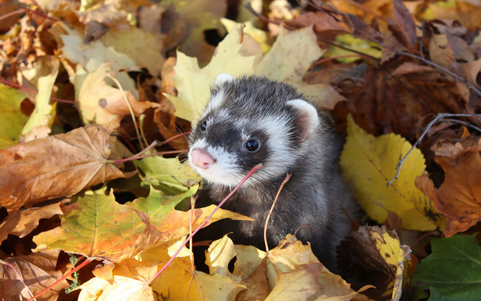 Ferret-in-the-frolicking-in-the-fall-folaige