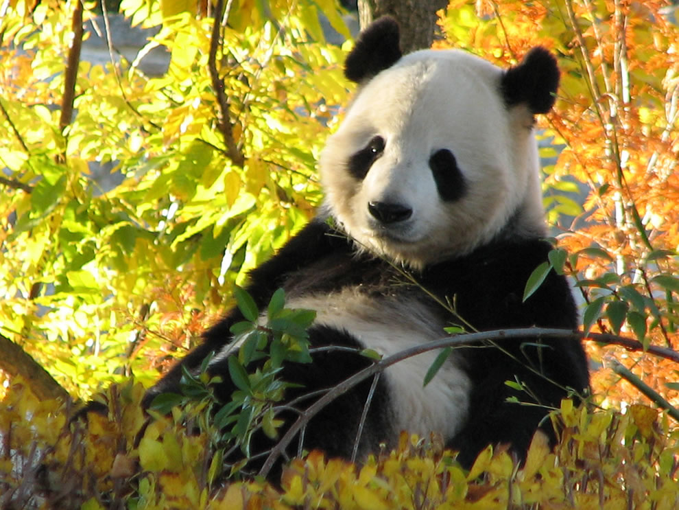Giant-Panda-relaxing-on-a-beautiful-fall-day