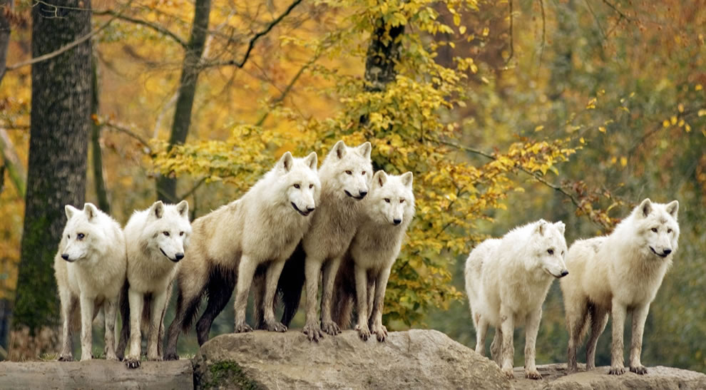 Golden-fall-foliage-and-pack-of-white-wolves