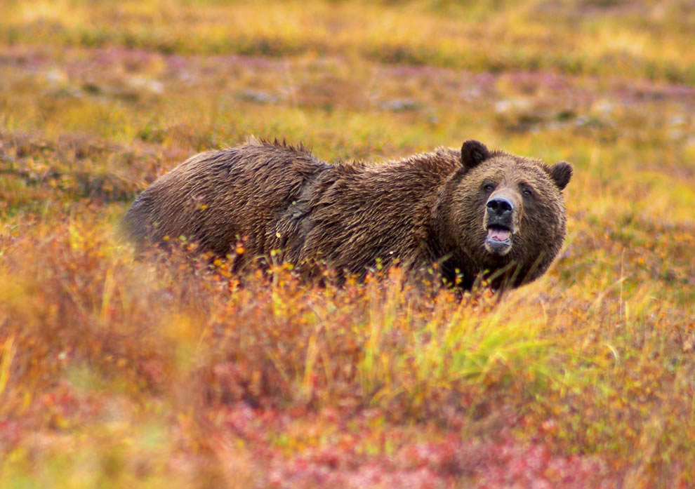 Grizzly-Bear-in-autumn-in-Denali-National-Park-and-Preserve