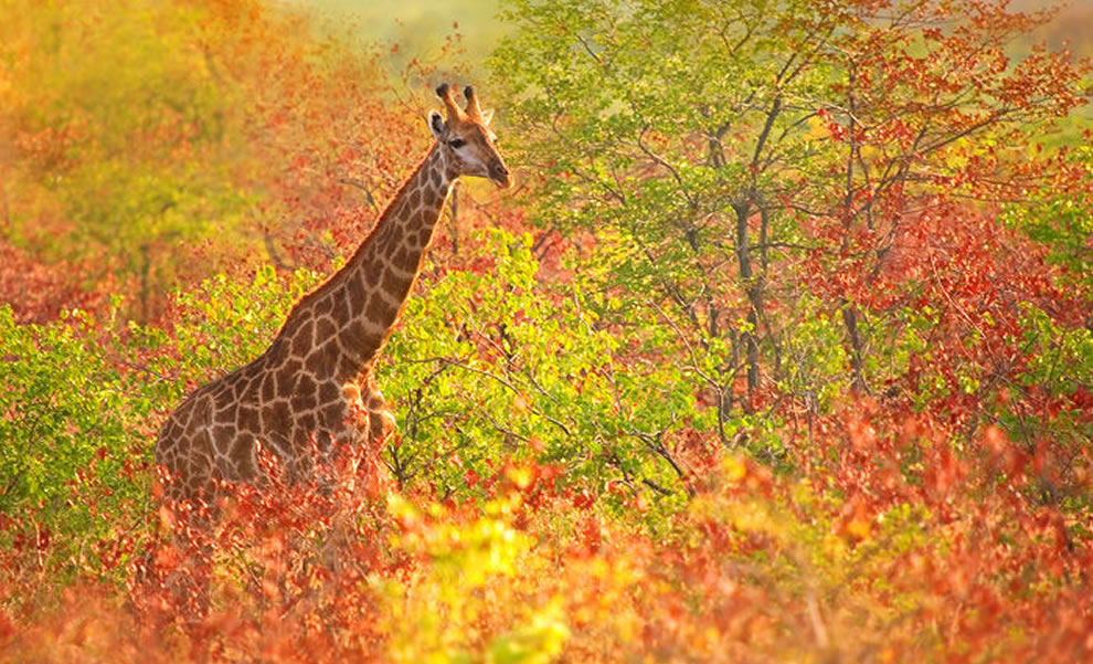 giraffe-cruising-through-the-fall-foliage