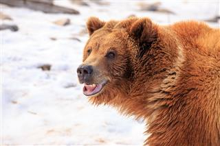Grizzly Bear Smile