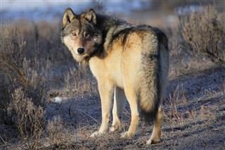 Gray Wolf In Yellow Stone