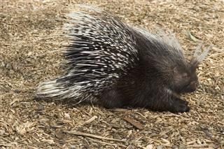 African Brush Tailed Porcupine