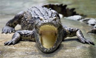 Crocodile Open Its Mouth