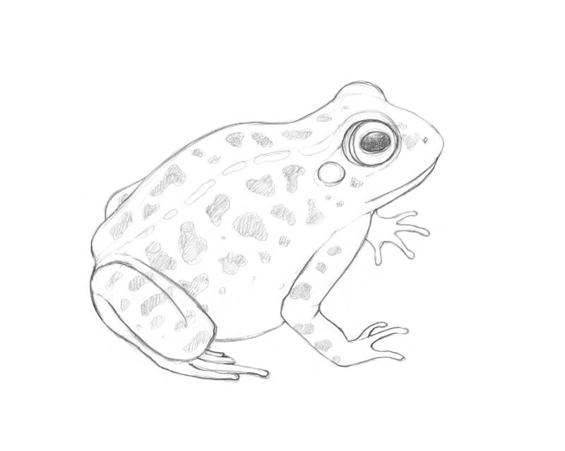 Completed pencil sketch of the frog