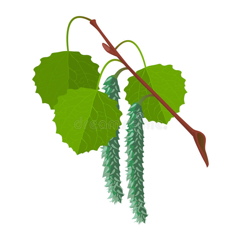 Aspen with leaves and male flowers isolated. Realistic vector. Aspen with leaves and male flowers isolated on white background. Realistic vector detailed vector illustration