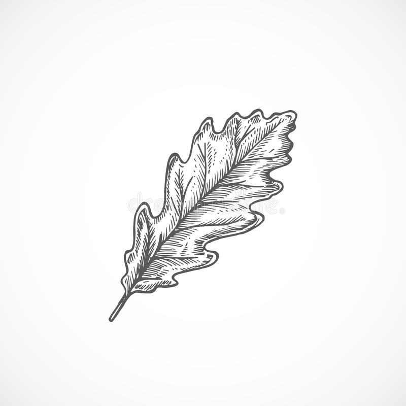 Autumn Oak Leaf Hand Drawn Vector Illustration. Abstract Botanical Sketch. Isolated vector illustration