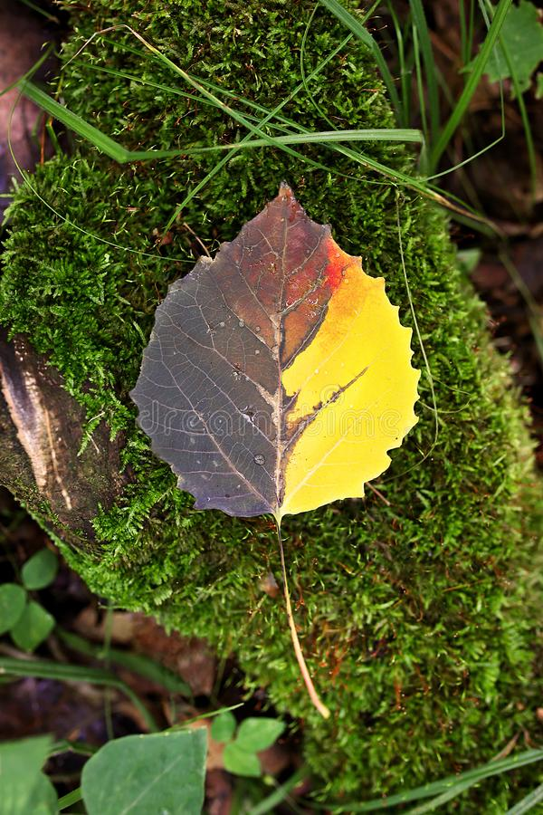 Beautiful Multicolored Fall Aspen Leaf Laying on Mossy Log on Forest Floor. A beautiful half yellow, brown and red Fall Aspen Tree leaf is covered in dew drops stock photos