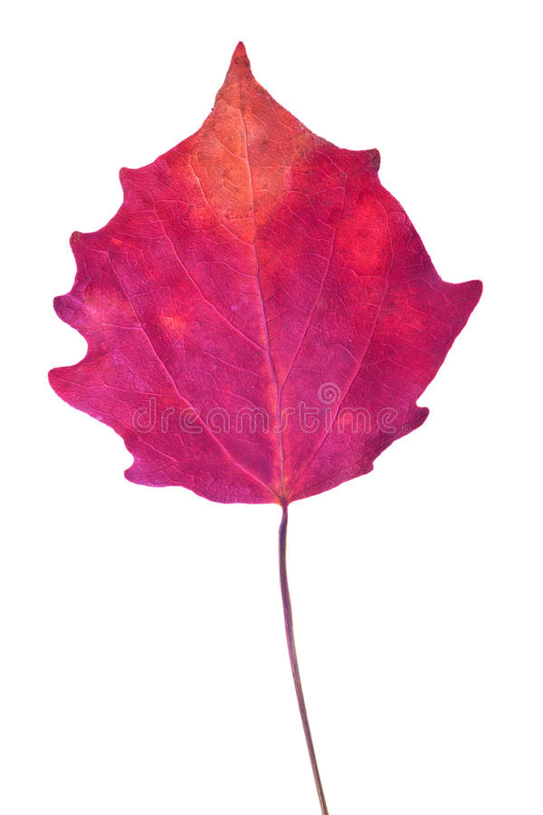 Dark red aspen fall leaf isolated on white. Background stock photos