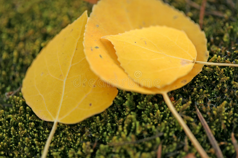 Fall time aspen leaves. Smooth aspen leaves that have fallen during fall season in colorado royalty free stock images