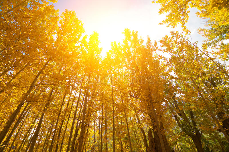 Golden Fall Aspen Trees. Wide angle fall Aspen Trees with golden sunlight, Leh District in the state of Jammu and Kashmir, India stock photo
