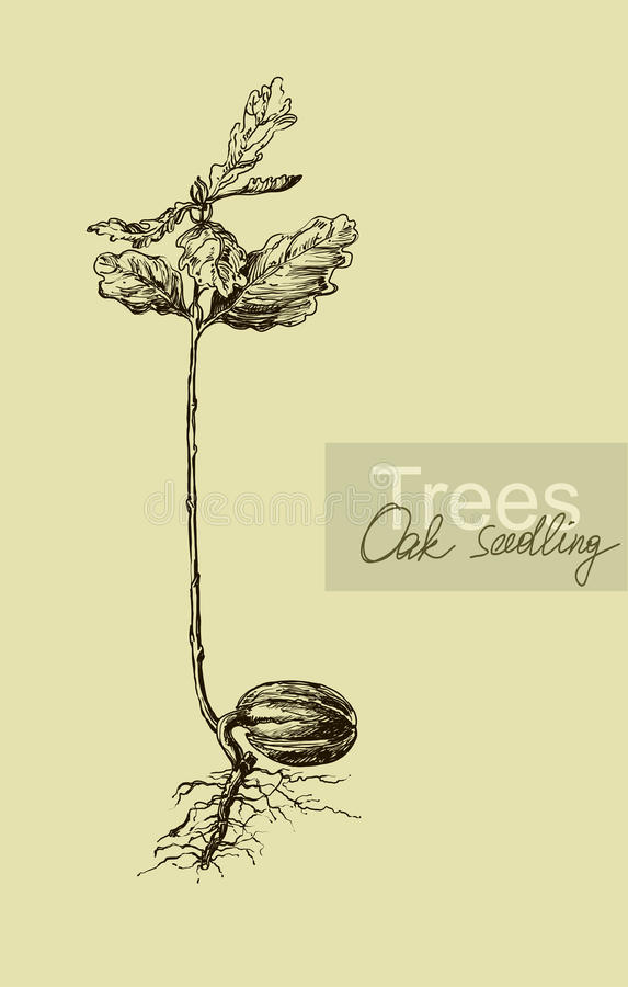 Graphic hand drawing of a seedling oak acorn. Vector. Vintage vector illustration
