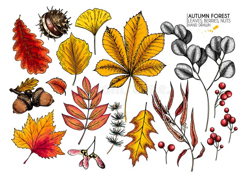 Hand drawn autumn leaves. Vector isolated colorful icons of tree leaf. Fall forest folliage. Maple, oak, chestnut, birch. Acorn, ginkgo biloba, eucalyptus royalty free illustration