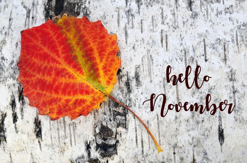 Hello November.Colorful aspen tree leaf on a white birch bark background.Fall season concept. Selective focus royalty free stock images