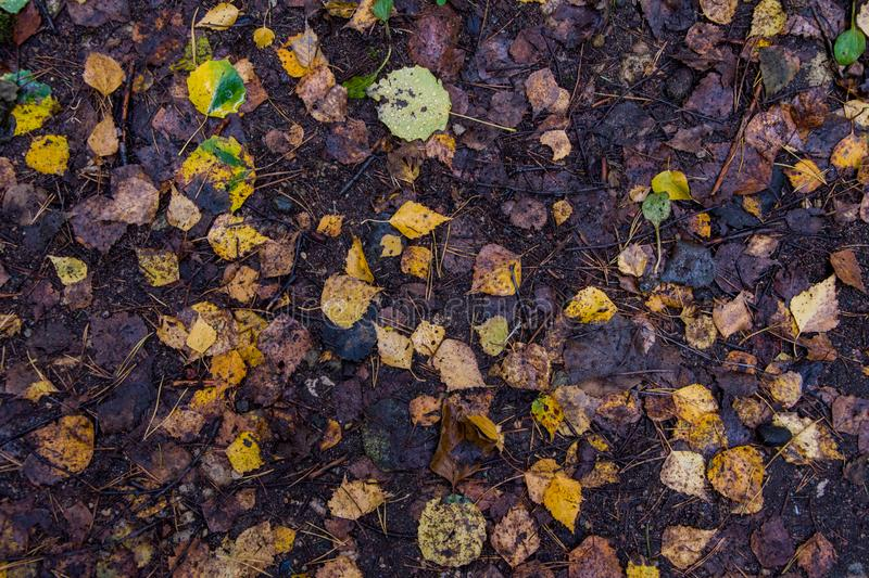The leaves of aspen and birch fell to the ground, the approach of autumn and the first leaf fall. The leaves of aspen and birch fell to the ground, the approach royalty free stock photos