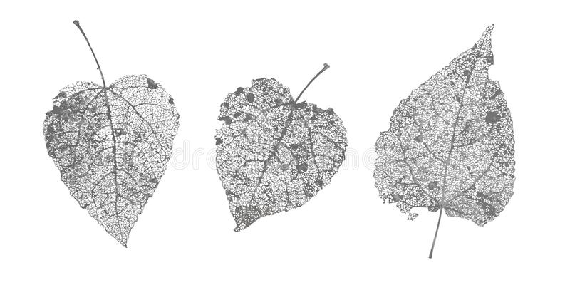 Set of black gray skeletons leaves on white background. Fallen foliage for autumn designs. Natural leaf aspen and birch. Vector illustration royalty free illustration