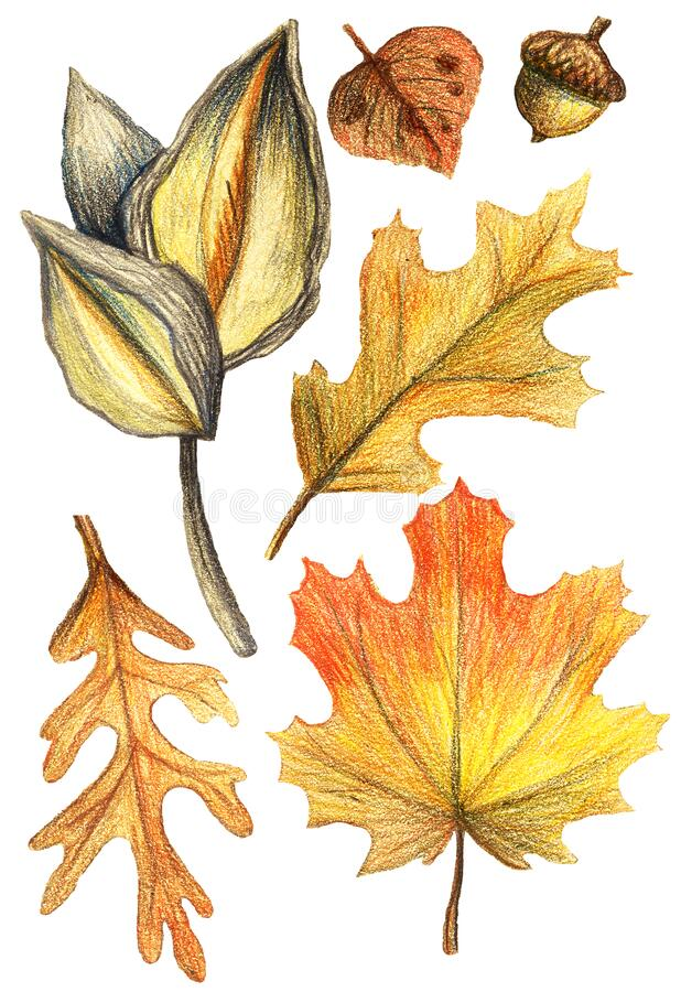 Set of hand-drawing watercolor pencils on paper - beautiful red and yellow autumn leaves, maple, oak, acorn. illustration. On white background vector illustration