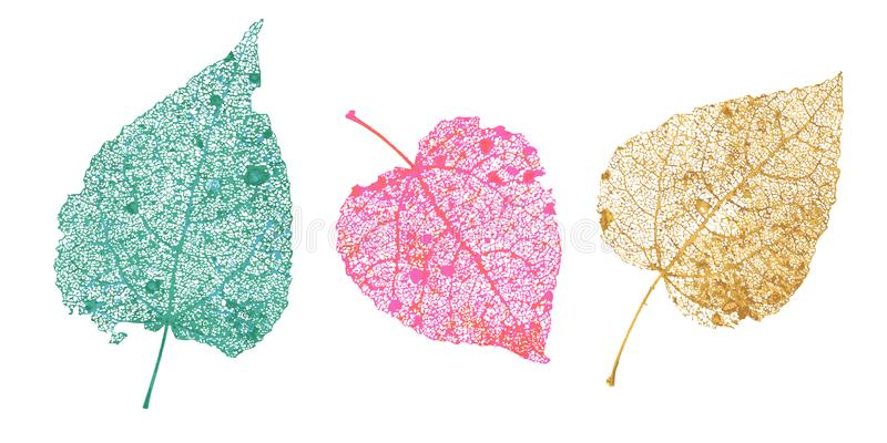 Set of skeletons leaves. Fallen foliage for autumn designs. Natural leaf of aspen and birch. Colored Vector illustration. vector illustration