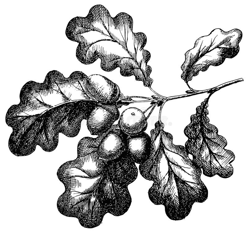 Vector engraving illustration of hand drawn acorn on oak branch isolated. On white background royalty free illustration