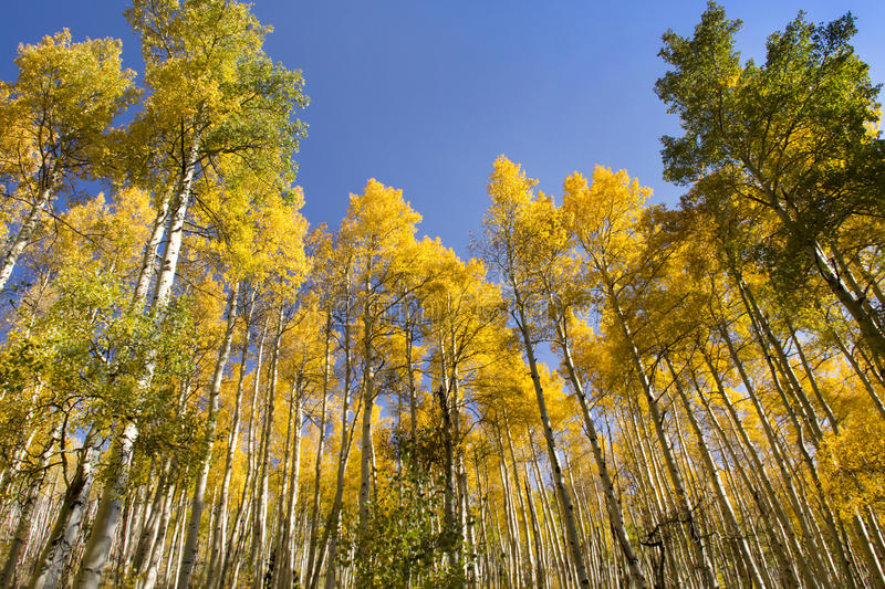 Very Tall Golden Fall Aspen Trees In Vail Colorado. These very tall Fall Aspen Trees In Vail Colorado stand out brightly against a rich blue sky royalty free stock photo
