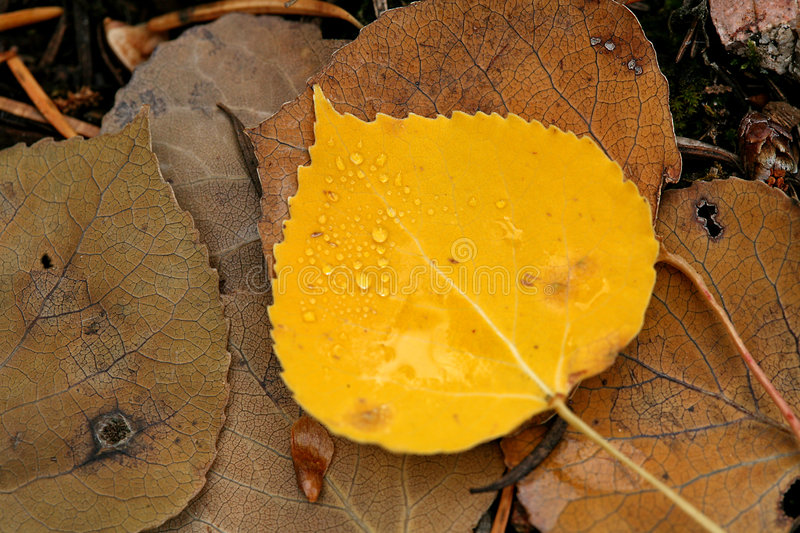 Water drops on yellow aspen leaf. Yellow aspen leaf against decaying leaves stock photography