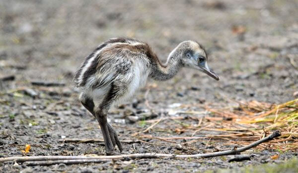 Фото: Птенец страуса эму