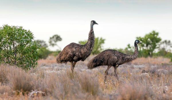Фото: Страусы эму Австралия
